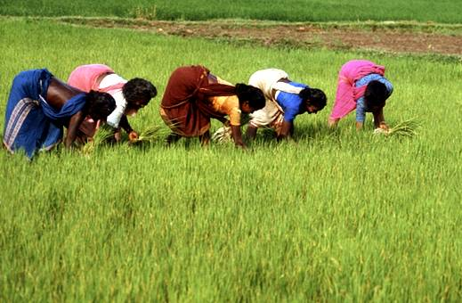 shifting cultivation crop rotation