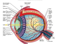 Test Your Knowledge on Human Eye- Class XI