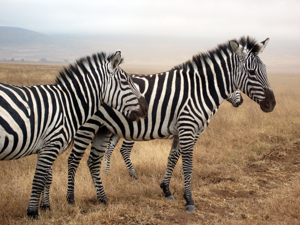 quiz-biology-Zebra, Ngorogoro