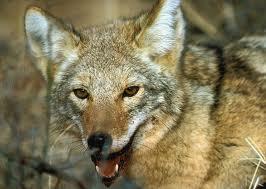 Wolf_carnivores