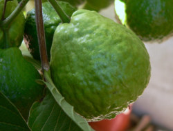 Guava Quiz to Test Your Knowledge