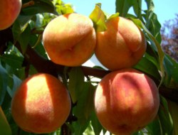 Peach: 10 Question Quiz