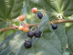 Phalsa Fruit Quiz (Or Falsa): Grewia Asiatica : 10 MCQs
