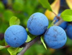 Quiz on Plum Fruit