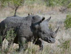 Ten questions on Indian rhinoceros