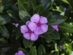 Quiz on Periwinkle Medicinal Plant