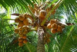 Coconut: 10 Question Quiz