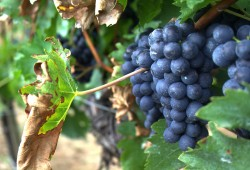 Grapes & Facts: A Quiz
